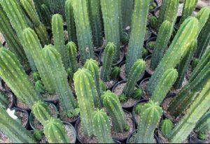 SanPedro Cactus